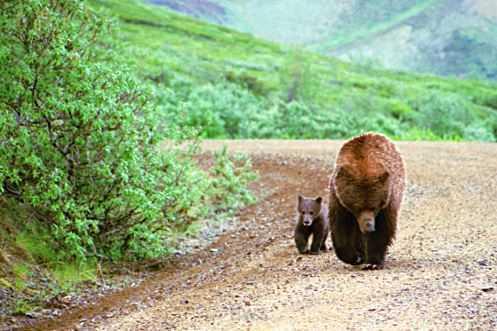 Top 10 Best Destinations for a Bear Safari, Denali National Park